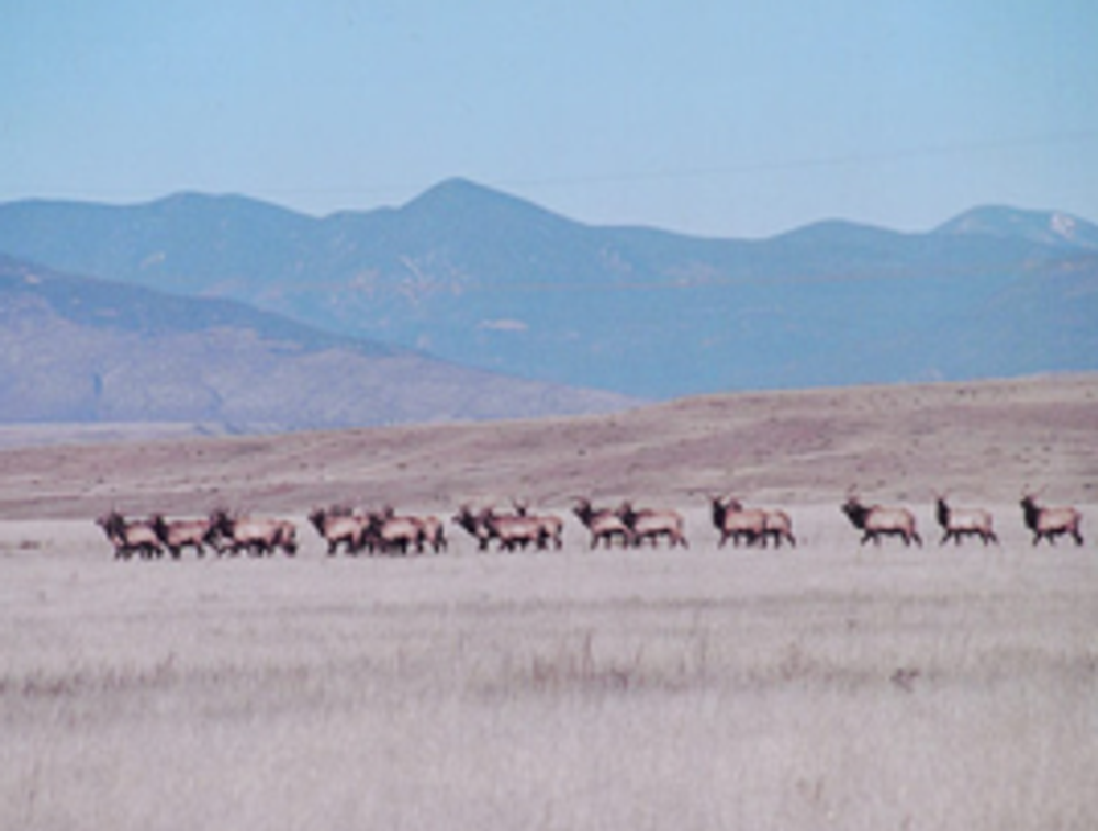 Elk herd near Craig, CO