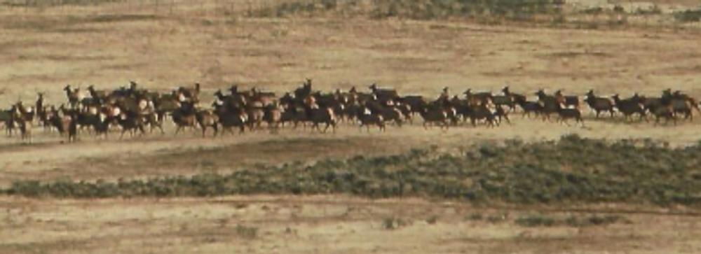 Big elk herd late rifle season.