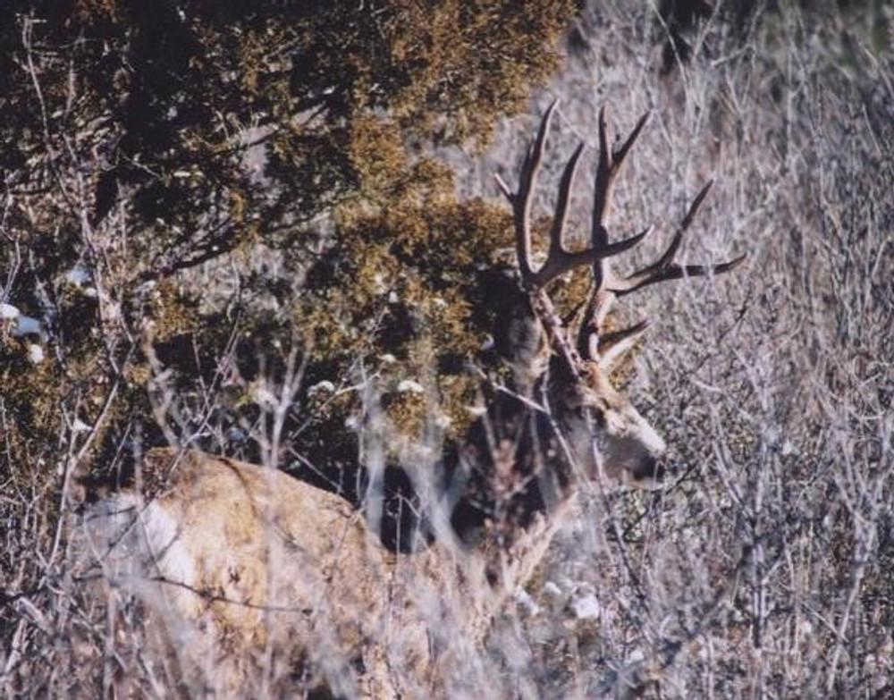 Live mule deer