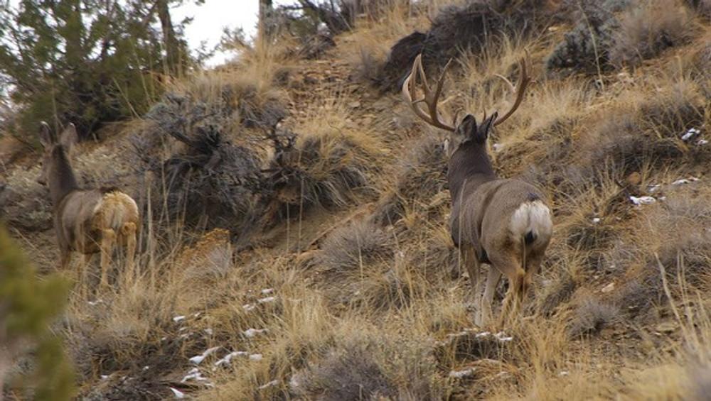 Mule deer buck chasing  a doe during the rut.