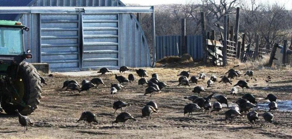 Turkey on the farm.