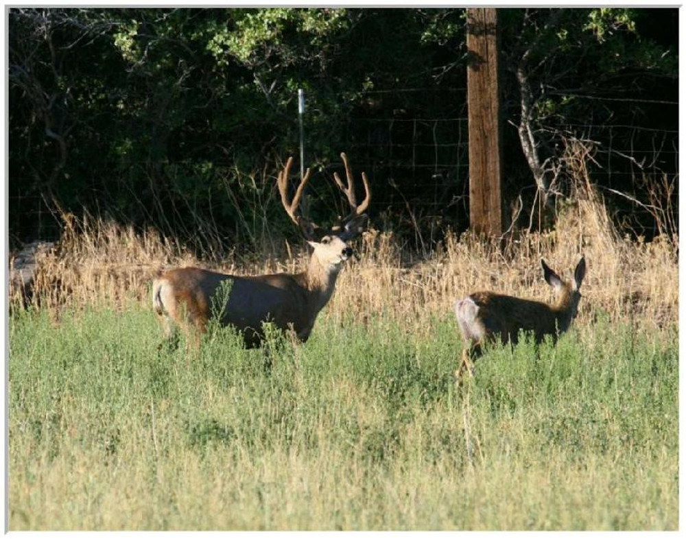 Tall mule deer buck with a doe.