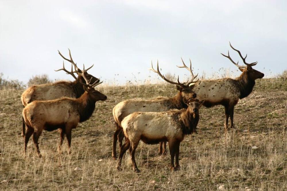 Bachelor heard of bull elk.