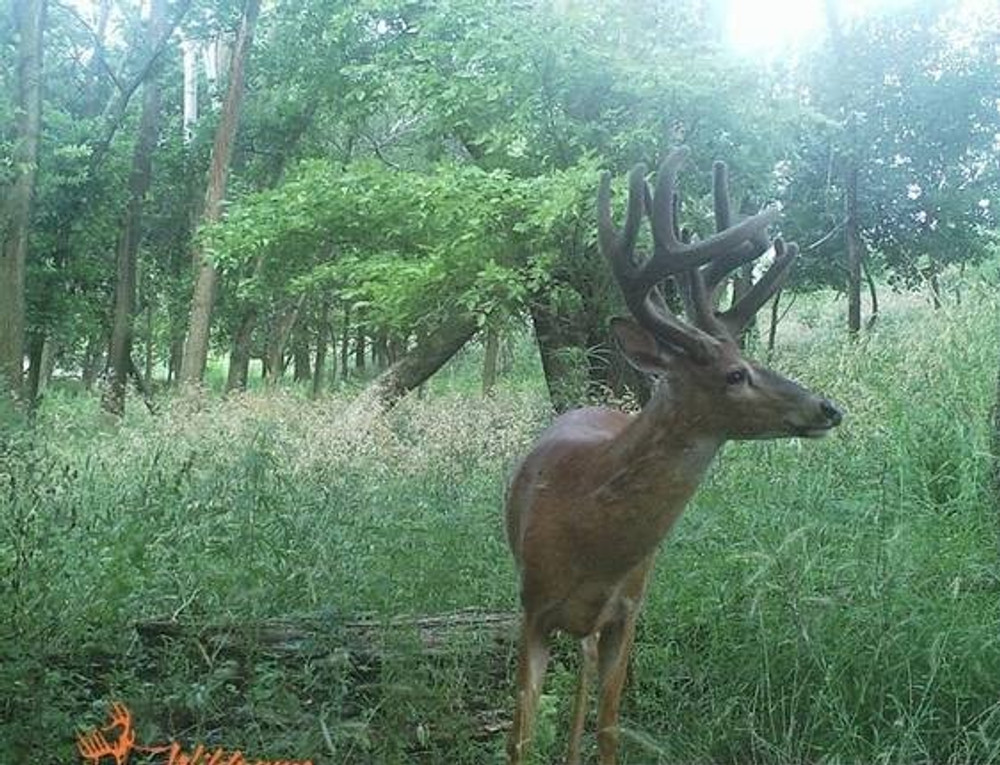 Whitetail buck is unaware of our presence.