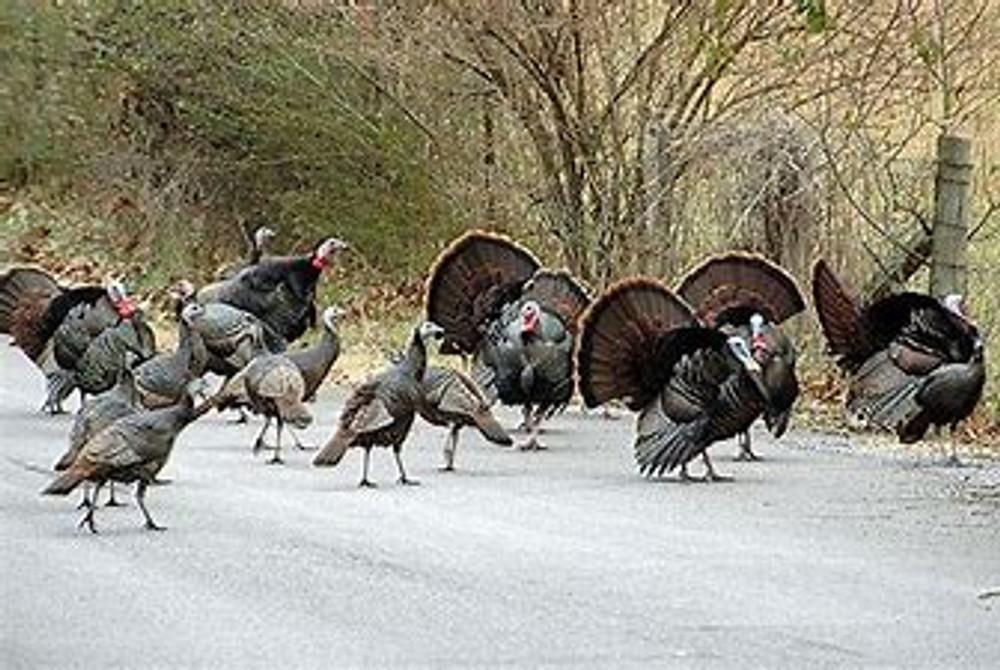A herd of turkeys.
