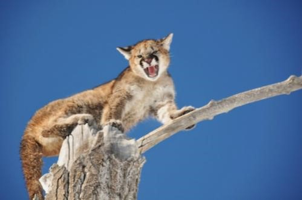 Mountain lion at the top of the tree.