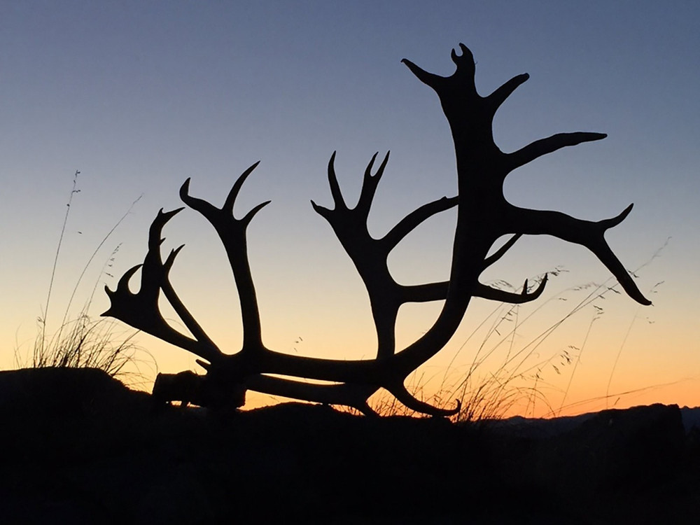 Caribou antlers found on the tundra.
