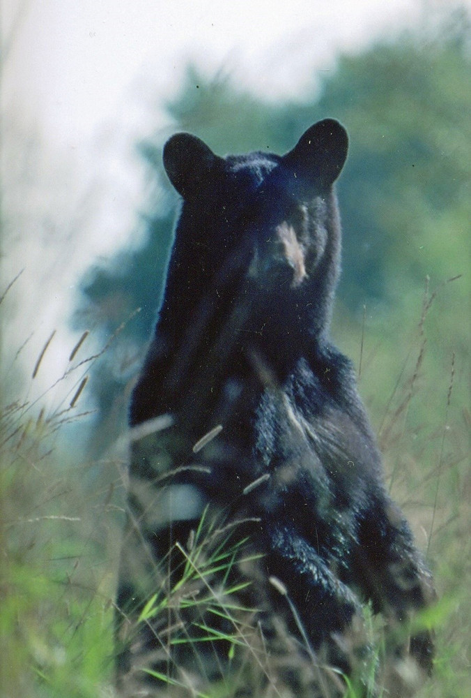 Newfoundland black bear