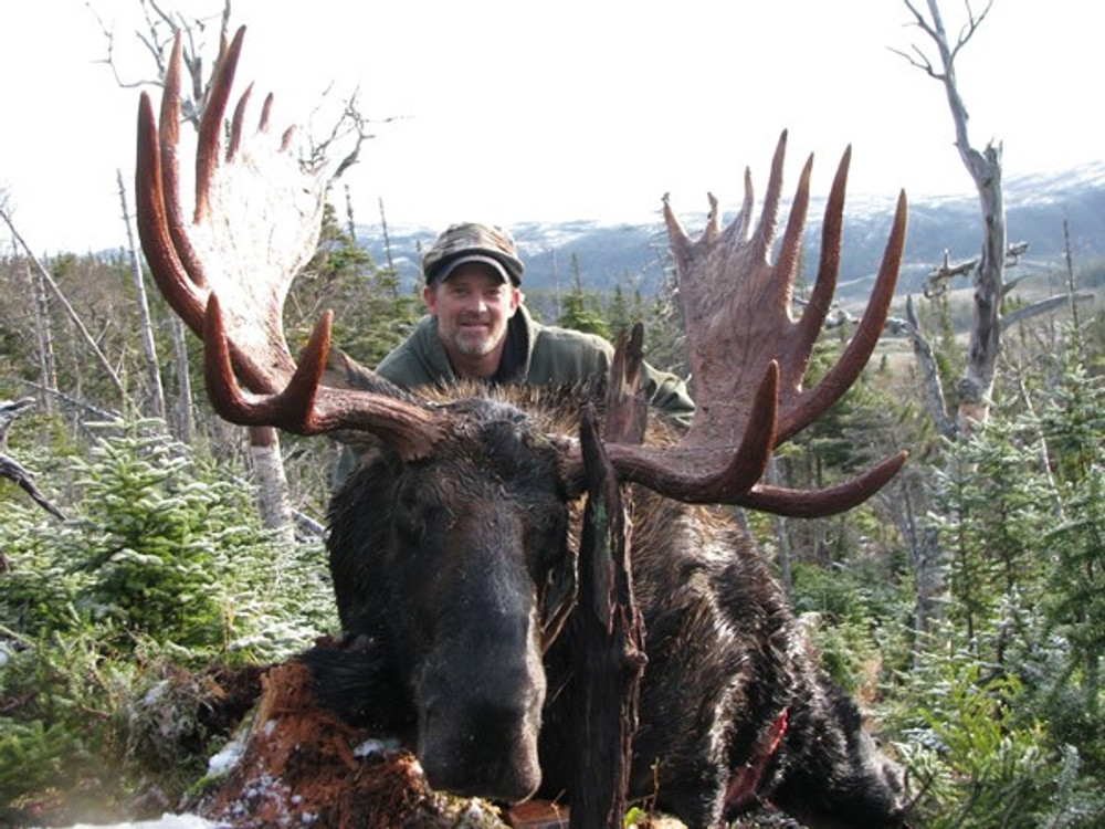 Big moose in Newfoundland