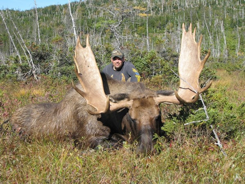 Big trophy Canada moose.