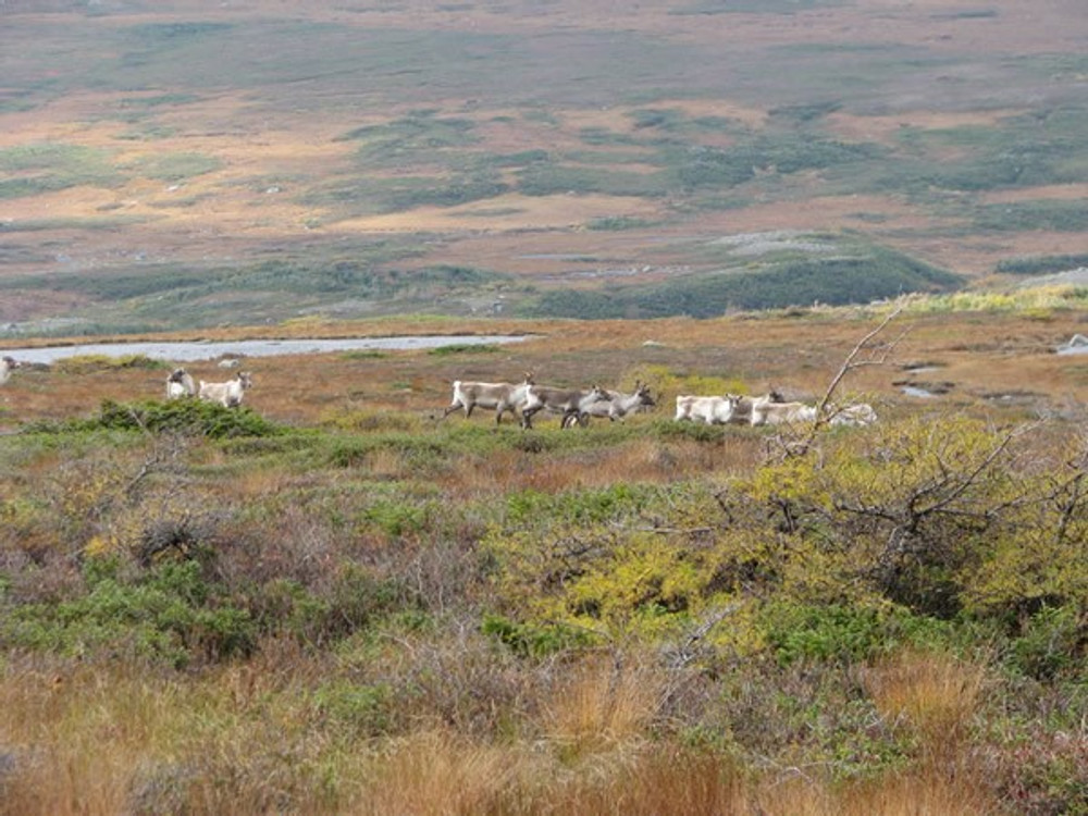 Caribou herd.