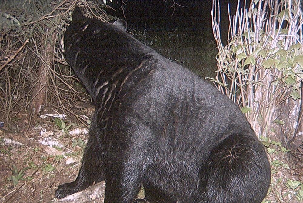 Take the shot now on a big black bear.