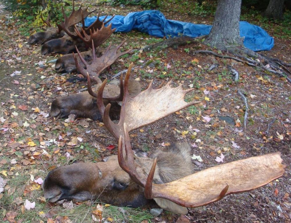 Always successful moose hunts.