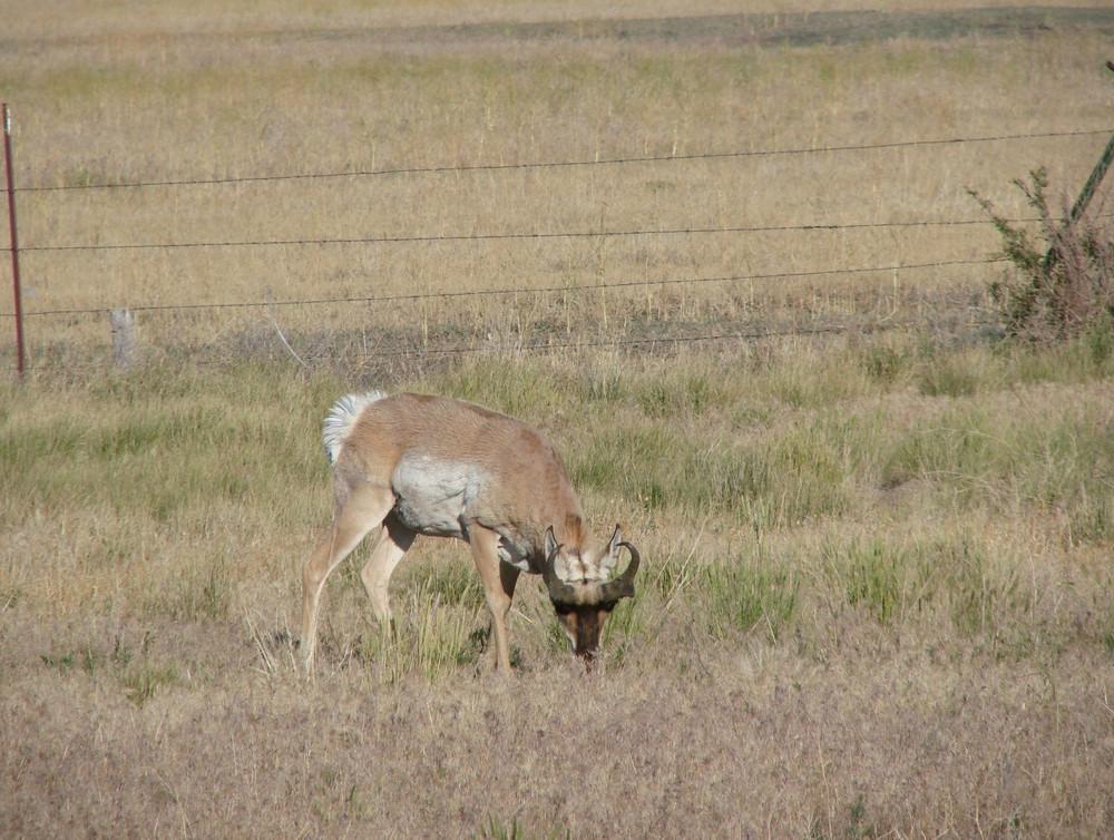 Utah antelope.