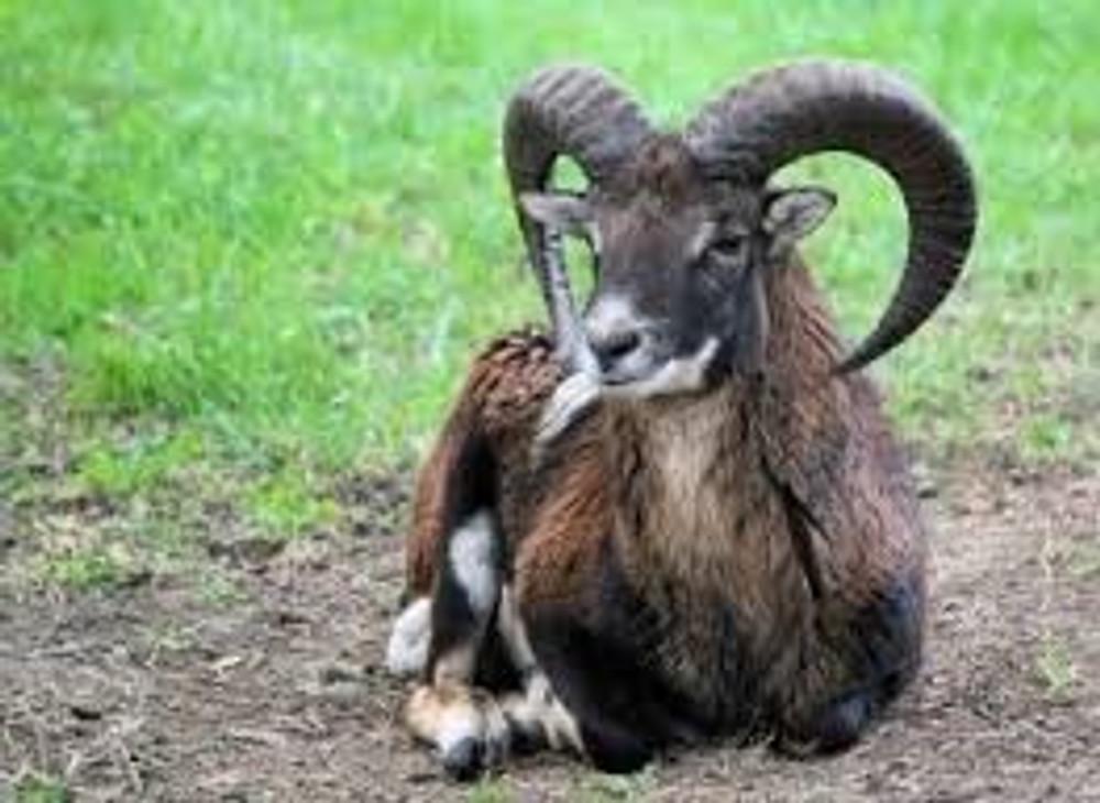 Texas Dahl, Black Hawaiian, Corsican, Mouflon, Red Sheep, Painted Ram hunts.