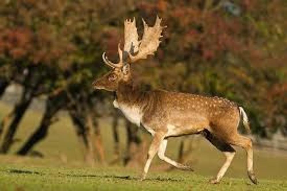 Fallow deer hunts.