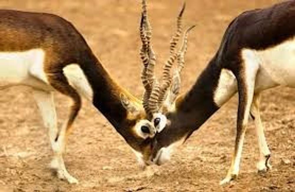 Black buck hunts