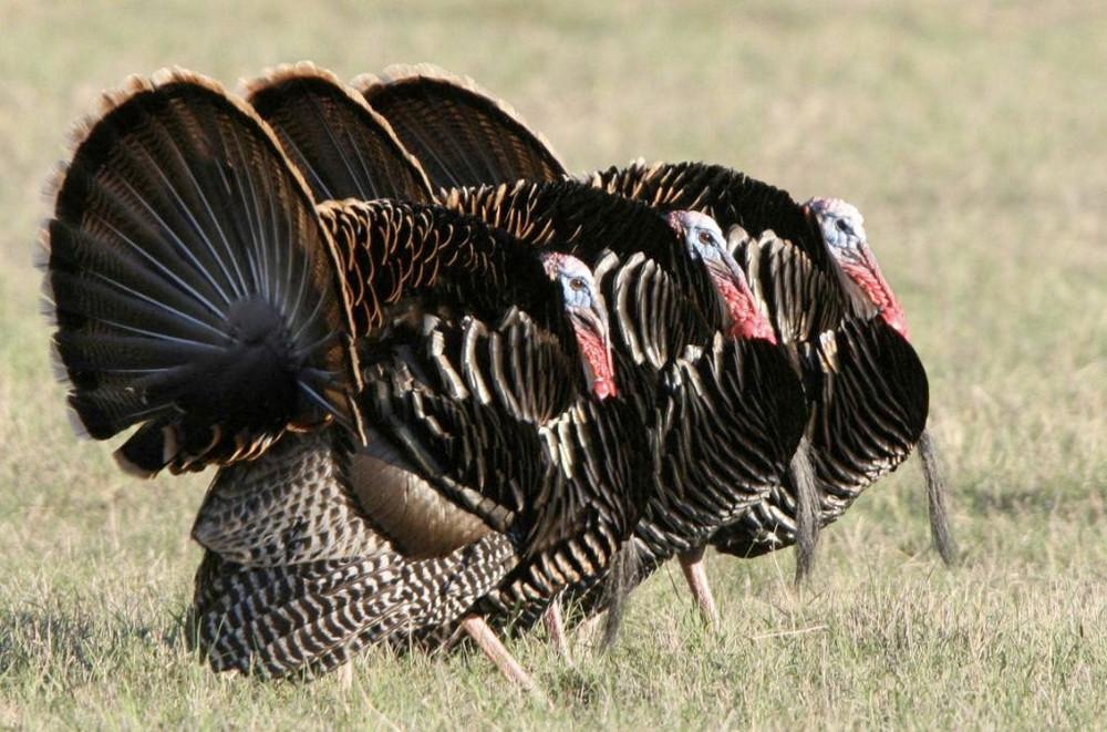 Rio Grande turkey hunts.
