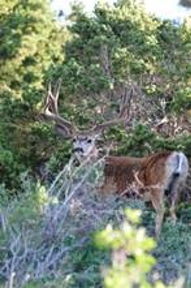 Mule deer are abundant.