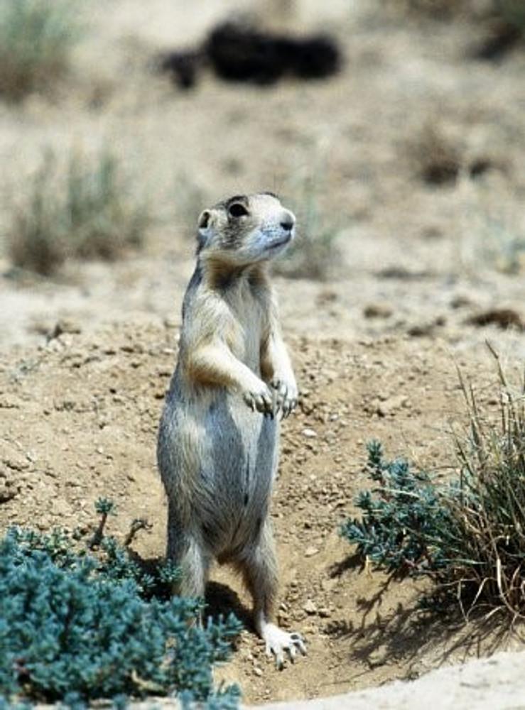 Prairie Dog Hunts