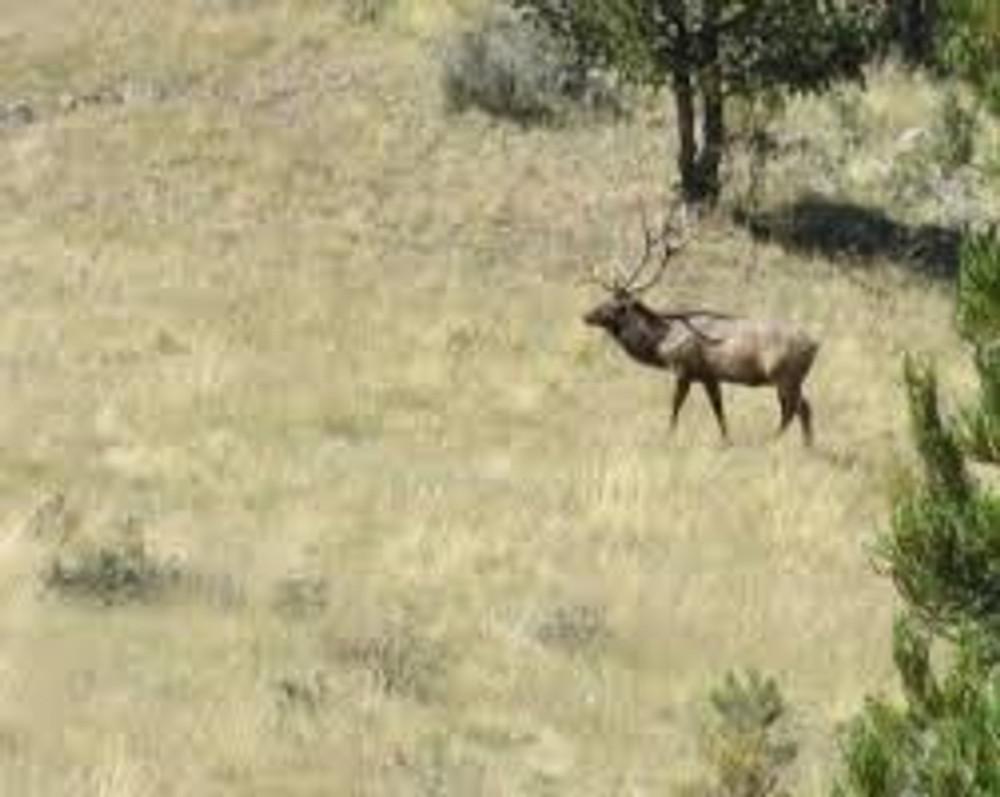Big bull elk at a distance.