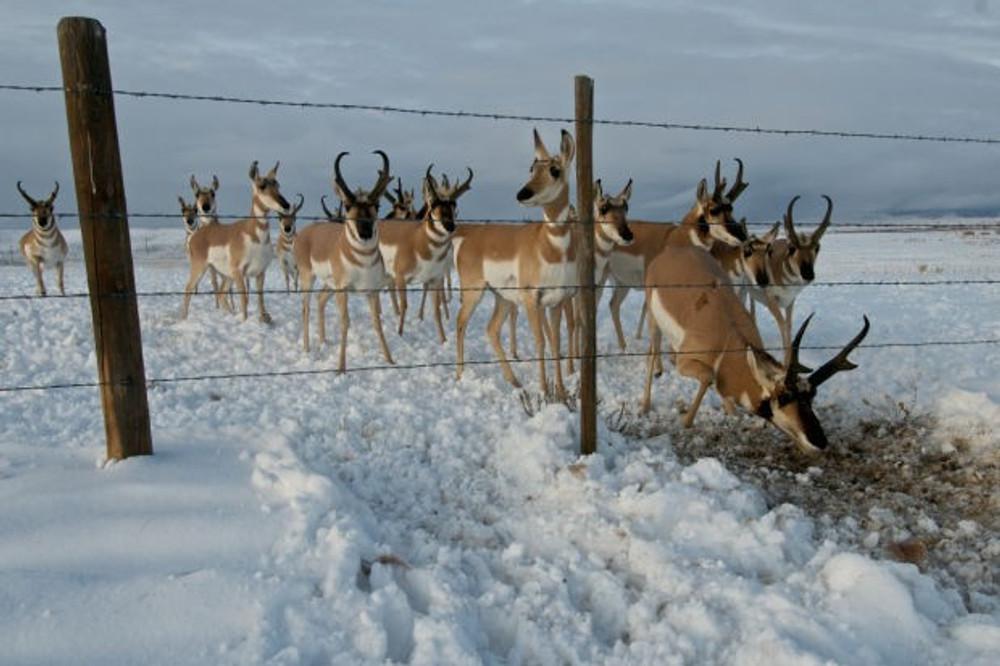 Antelope herd in the winter.