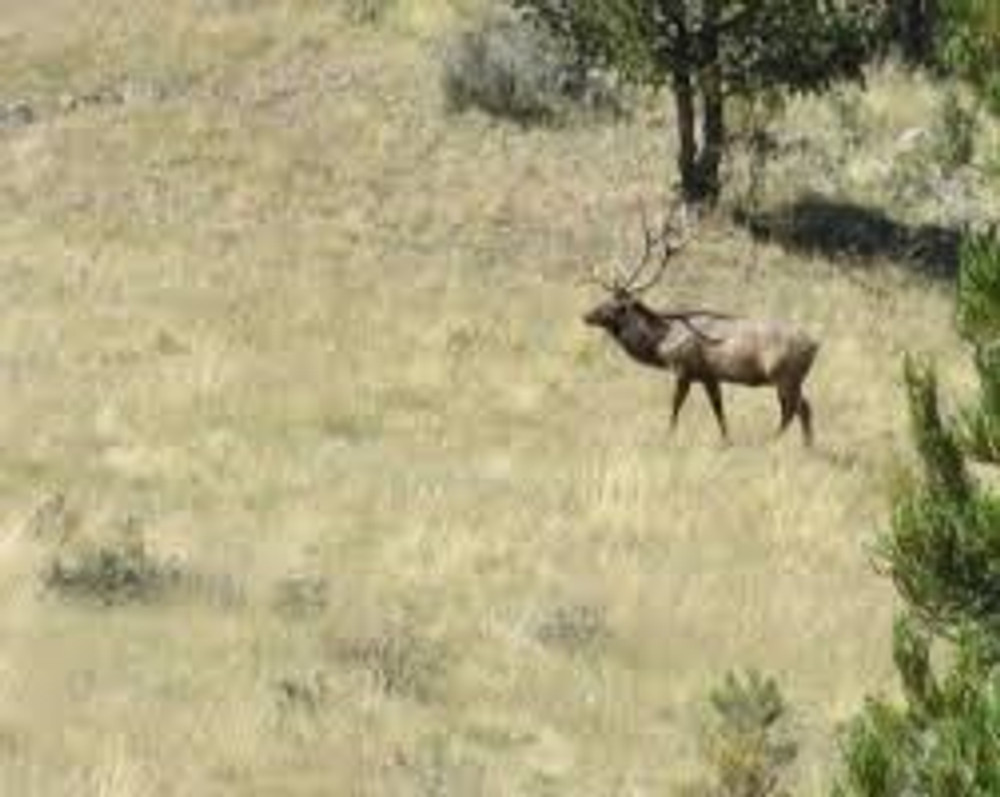 Big bull elk at a distance.