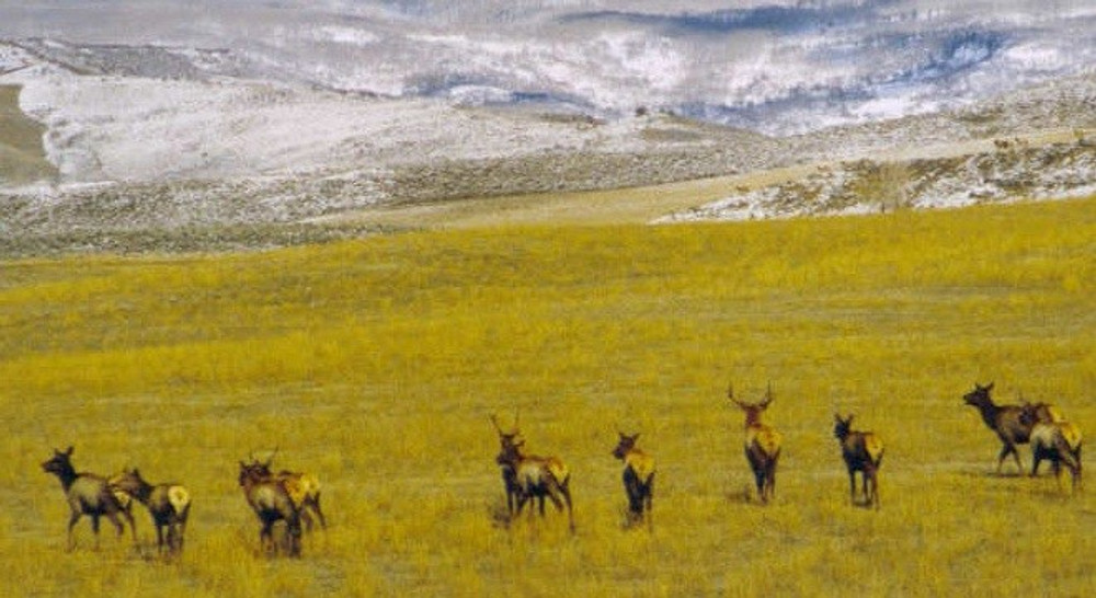 Elk herd in New Mexico.