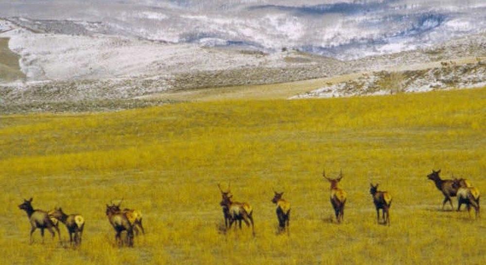 Elk herd in New Mexico.