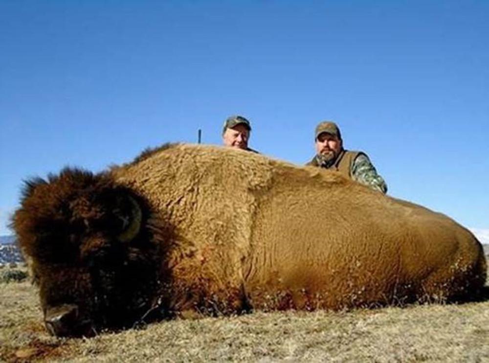 Hunting buffalo in South Dakota Black Hills