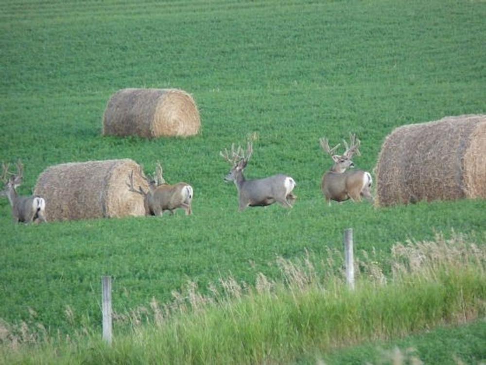 Alfalfa mule deer hunt.