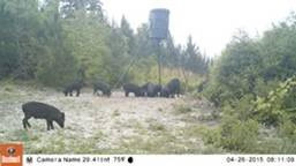 Multiple feeders for hogs and deer.