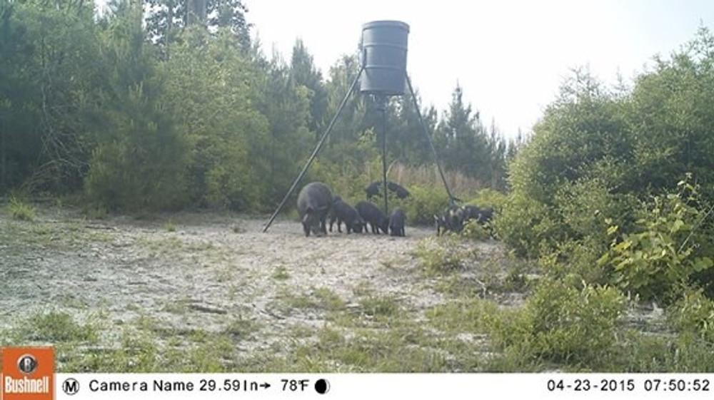 Private land free range hog hunts.