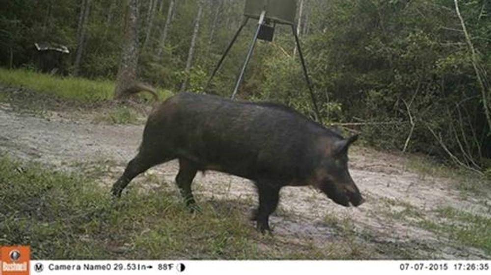 Big hogs in TX.