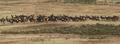 Herd of free range elk.