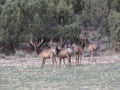 Bull Elk milling around.