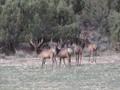 Bull Elk milling around.
