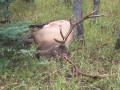Bull elk down