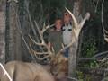 Trophy elk in a non-trophy unit.