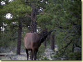 Local elk on private property.