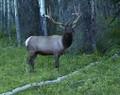 Local elk aren't afraid of humans.