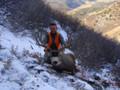 Snow mule deer buck