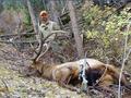 Nice Colorado trophy bull elk.
