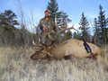 Nice ivory tined bull elk.