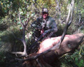 Bull elk in archery season don't always stop where you want them even on private property.