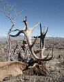These bull elk don't get much bigger.