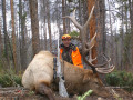 A great 6x6 herd bull elk.