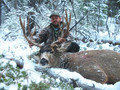 Snow mule deer buck hunt.