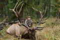 Monster 8x8 bull elk.