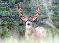 Mule deer spotted us.